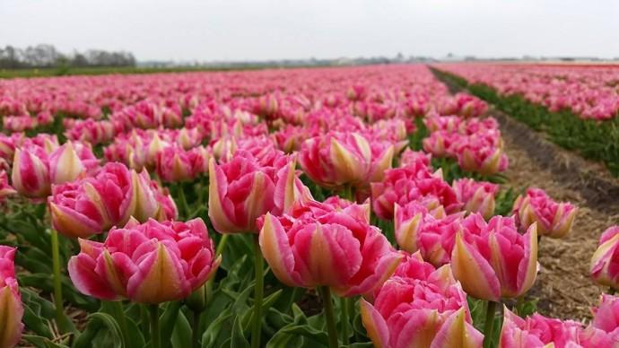 tulips keukenhof flower fields