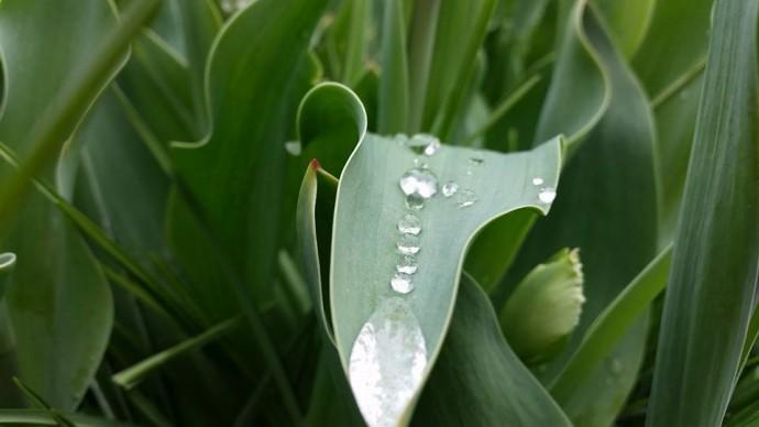 tulip leaf keukenhof