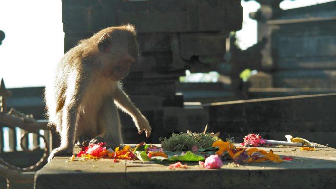 apen op Bali gevaarlijk of niet onschuldig