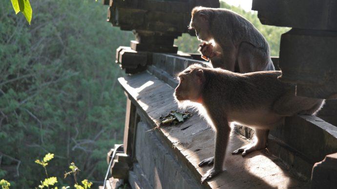 monkeys aapjes kijken Bali monkey forest
