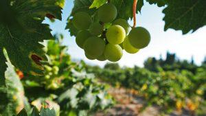 Enrique Mendoza vineyard Benidorm wine tasting
