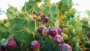 cactussen op Gran Canaria