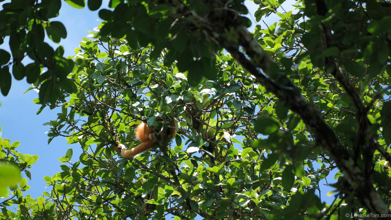monkey on tree in cano negro costa rica