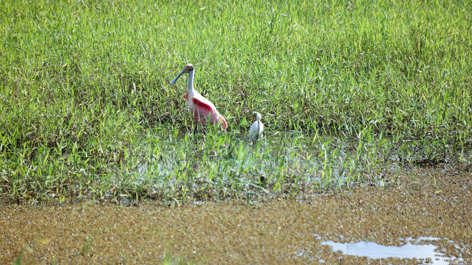 red spoonbill costa rica rode lepelaar