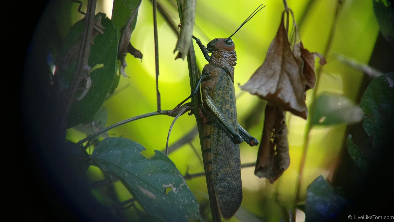 sprinkhaan grasshopper costa rica