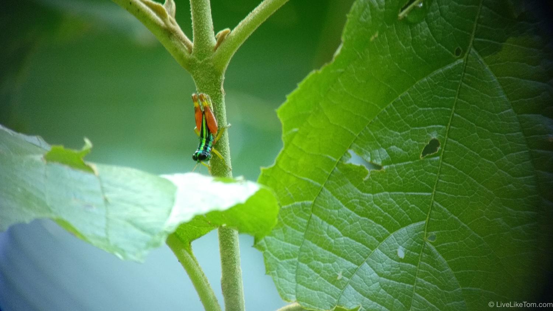 rainbow grasshopper costa rica manuel antonio