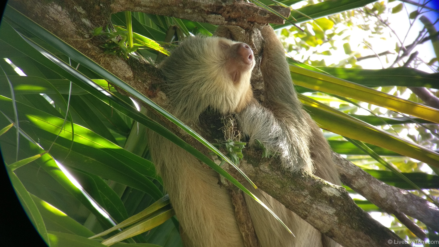 sloth luiaard in costa rica